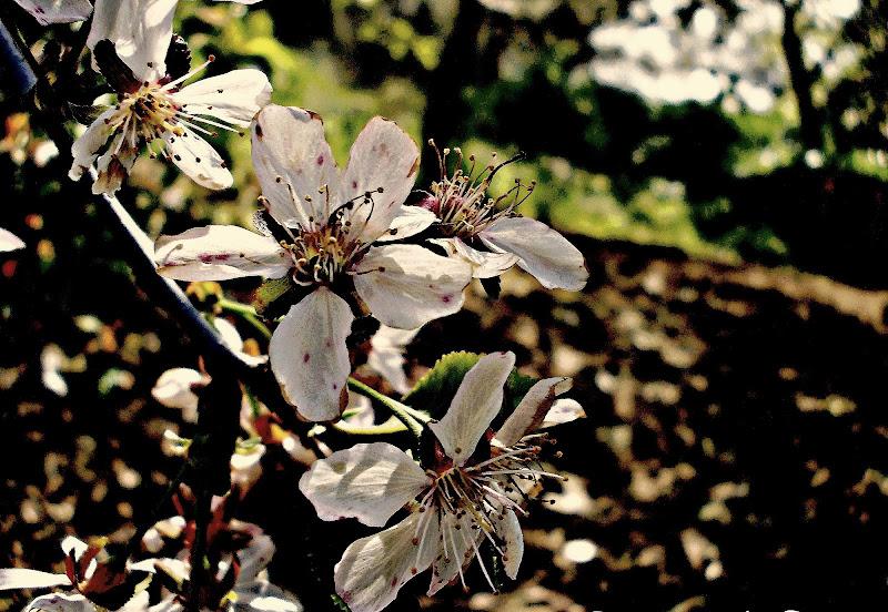 Ramo del mandorlo in fiore  di Elisabetta Di Franco