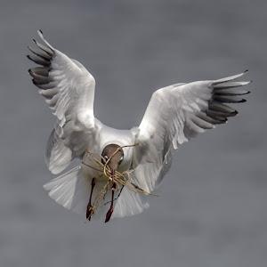 black headed gull 3.jpg
