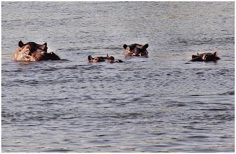 Photo: Nijlpaarden in de Kavango-rivier