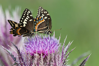 Photo: Butterflies on budding thistle; seemed to be their peak season