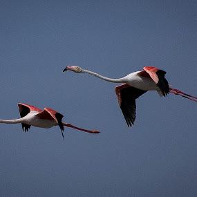 Pink flamingo  by Eden Meyer - Animals Birds (  )