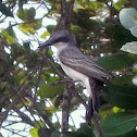 Pitirre/ Gray Kingbird