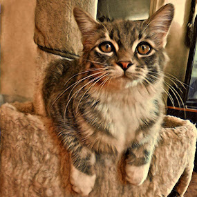 Gracie Portrait by Johnny Knight - Novices Only Pets ( cat, nature, pet, feline, domestic, animal )