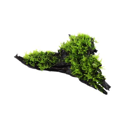 Vesicularia Dubyana Christmas på trä S