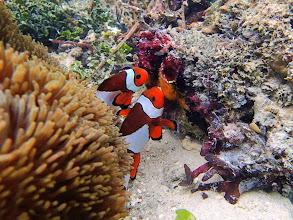 Photo: Amphiprion ocellaris (Ocellaris Clownfish) spawning, Miniloc Island Resort reef, Palawan, Philippines.