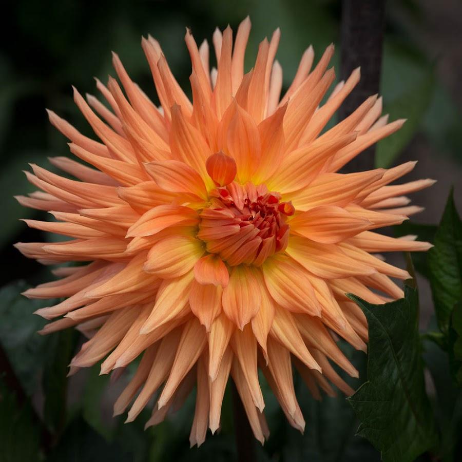 Orange by Janet Marsh - Flowers Single Flower ( orange, dahlia )