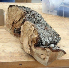 Photo: Look at that burl brought in by Mike Colella.  Clif Poodry turned this into three lidded bowls.