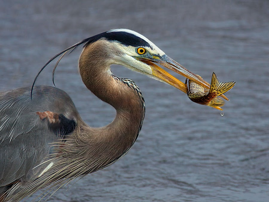 Great Blue with Catch by Peter Christoph - Animals Birds