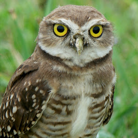 by Itamar Campos - Animals Birds ( owl portrait! )