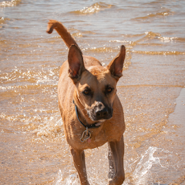 by Myra Brizendine Wilson - Animals - Dogs Playing ( pets, belgian shepherd, brown dogs, brown dog, canine, water, boat )