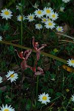 Photo: Caladenia cairnsiana