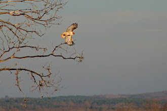 Photo: For#BirdPoker : Raptors in flight. curated by +Phil Armishaw  I pulled over on the side of the highway to grab this shot the other day. This one was a little shy.