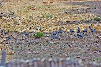Photo: 撮影者:清水盛通 鳥名:イカル タイトル:集団採餌 観察年月日:2014.01.25 羽数:20羽+ 場所:北浅川(小田野中央公園) 区分:行動 メッシュ:拝島1A コメント:地上の平穏を確認すると、群れは小さな声で鳴き交わしながら一斉に樹上より舞い下ります。しかし休日の公園に平穏は長続きせず、通行人や子供の嬌声で再び樹上に舞い上がるの繰り返し。  地上に落ちているエノキの実を「プチプチ」させながら食べています。