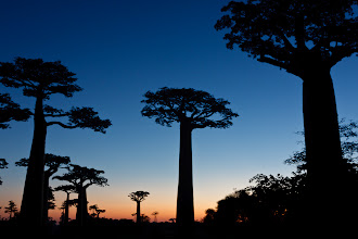 Photo: Avenue of the Baobabs  For #TreeTuesday, by +Christina Lawrieand +Shannon S. Myers(+Tree Tuesday)
