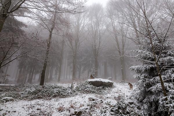 Lupi tra la nebbia e la neve della foresta. di davide.gennari