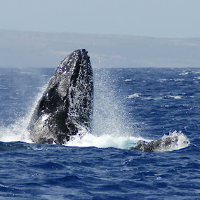 Humback Whale by Barb Moore - Animals Sea Creatures ( water, humpback, pwcmovinganimals, whale, hawaii, color, colors, landscape, portrait, object, filter forge )