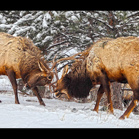 Training Camp by AJ Schroetlin - Animals Other Mammals ( wild animal, elk, bull elk, aj schroetlin, animal )