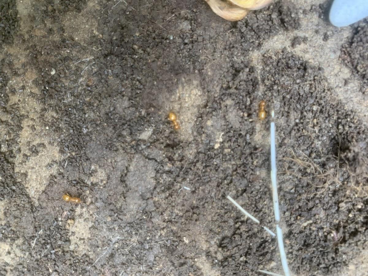 Golden/Yellow Ants