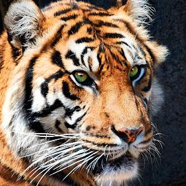 Big Cat 9983~Q by Raphael RaCcoon - Animals Lions, Tigers & Big Cats