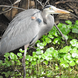 Great blue heron in the marsh by Mary Gallo - Animals Birds ( water, great blue heron, bird, blue heron, marsh, wildlife, nature up close, heron, animal,  )