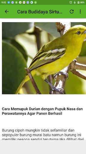 2020 Kicau Burung Sirtu Jernih Android App Download Latest