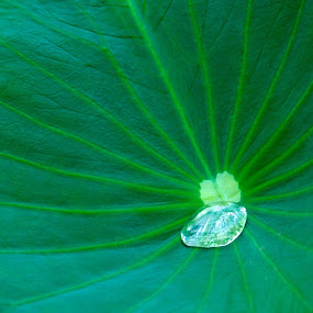 waterdrop by Darius Apanavicius - Nature Up Close Leaves & Grasses ( water, up close, leave, green, drop, closeup )