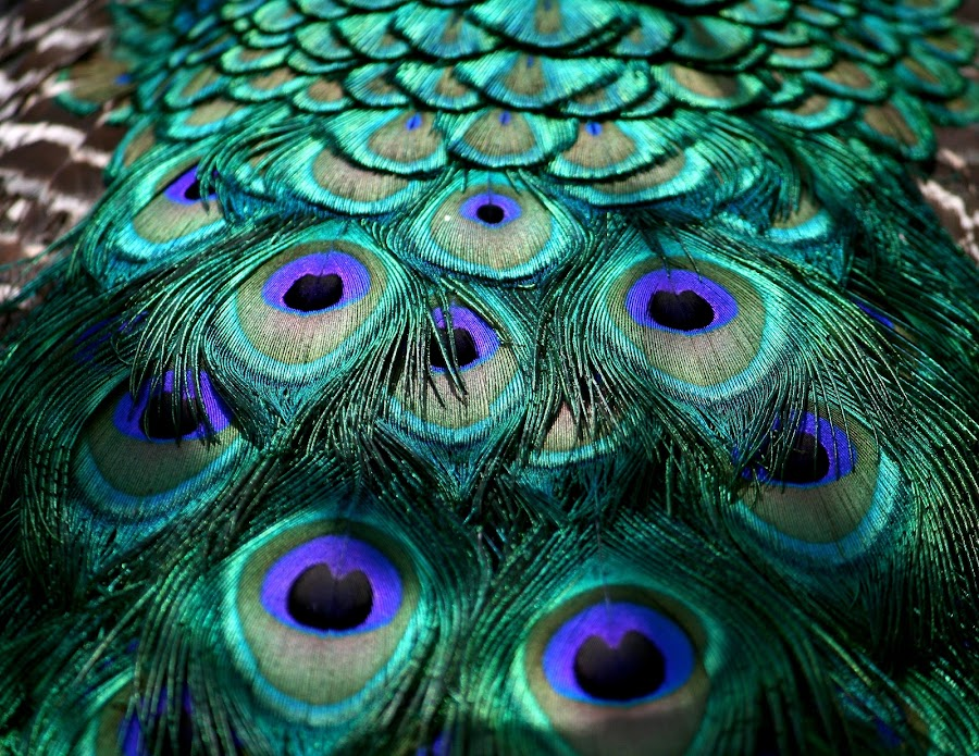 Peacock  by Mikkel Johansson - Animals Birds ( feathers, peacock )