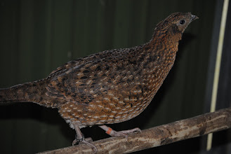 Photo: Lateral view of young Tragopan temmincki female hatch 2010