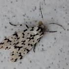 Polilla tigre - Tiger moth