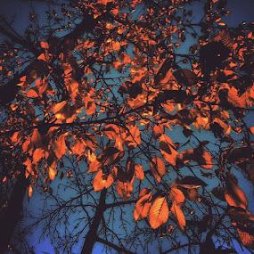 Late Autumn by Nat Bolfan-Stosic - Nature Up Close Trees & Bushes ( tree, autumn, bright, backyard, leaves )