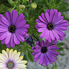 Three Sisters and Cousin by Dale Fillmore - Flowers Flower Gardens ( color, purple petals, flowers, garden, closeup,  )