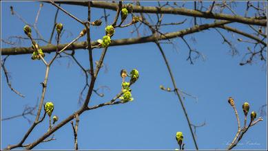 Photo: Arțar, Paltin de câmp, Jugastru (Acer platanoides - de pe Calea Victoriei, alee la intersectia cu accesul la B15 - 2019.03.27
