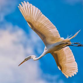 by James Gramm - Animals Birds ( bird, clouds, sky, blue sky, in flight,  )