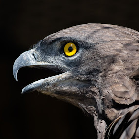 Brown Snake Eagle by Marc Crowther - Animals Birds (  )