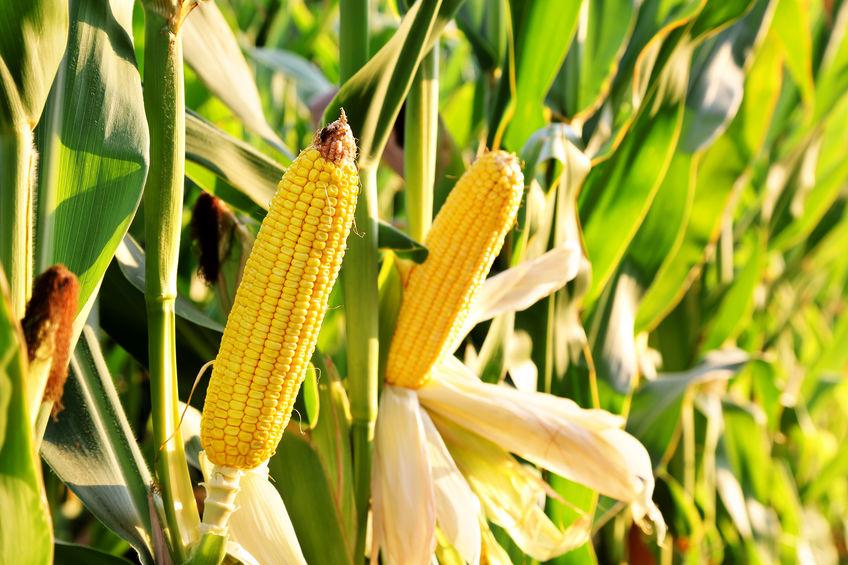 Mexico farm lobby blasts ban on GMO corn; organic growers welcome it