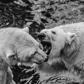 Polar by Garry Chisholm - Black & White Animals ( polar bear, nature, mammal, ranua, finland, garry chisholm )