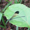 Black-tipped Damsel Fly