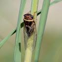 Salt Marsh Cicada