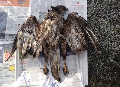 Bird of prey shot dead