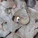 Malabar Glad-eye Bushbrown