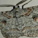 Brown-shaded Gray Moth