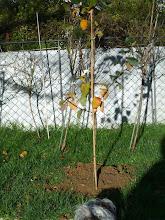 Photo: einer unserer neuen ....Apfelbäume für den neuen oberen Garten.... irgendwann