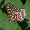 U/I brushfoot butterfly (fritillary)