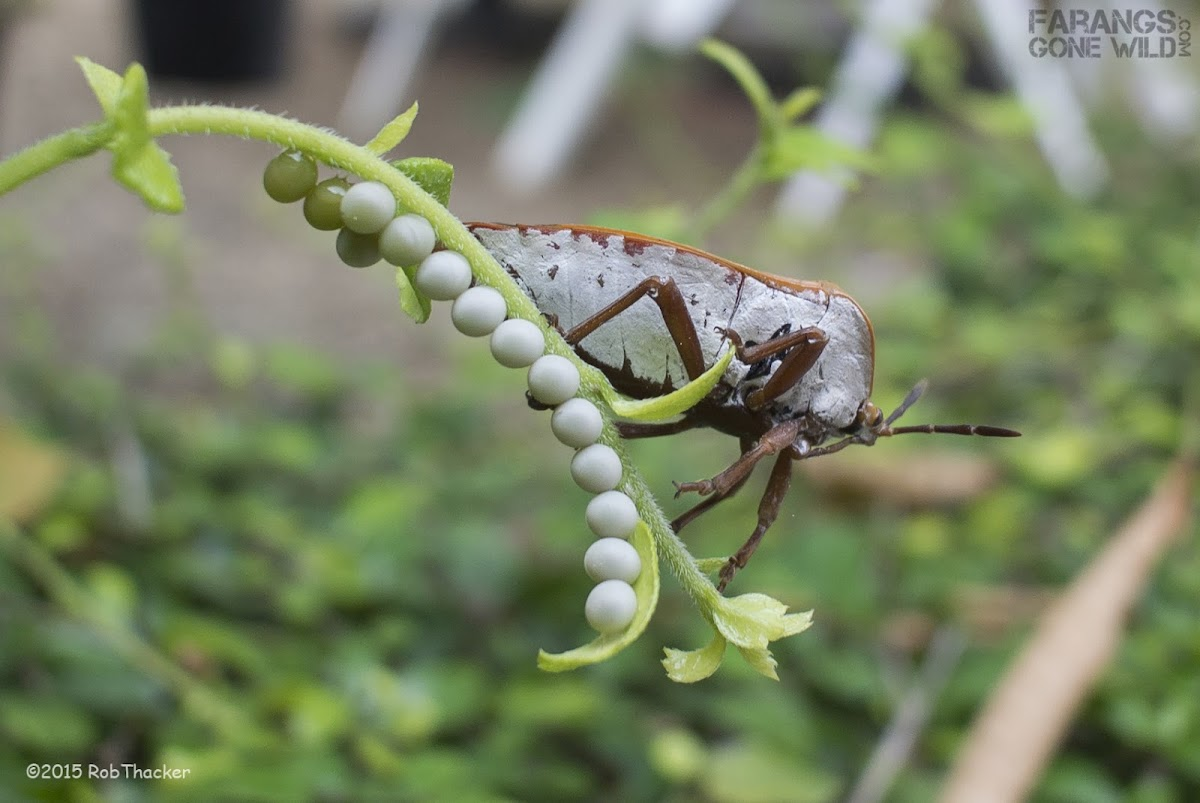 Lychee Giant Stink Bug + eggs