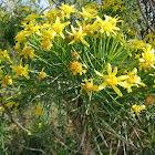 Yellow flowers with spiny leaves