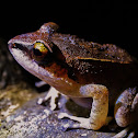 Pastures Rainfrog