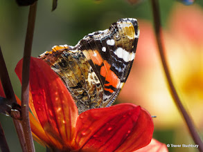 Photo: Red Admiral on Dahlia