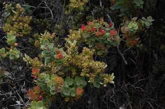 Photo: Colorful pukiawe and ohelo plants line the trail.
