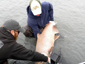 Photo: A 50 plus pound Kasilof King salmon.