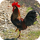 Download Rooster 4k Wallpaper For PC Windows and Mac